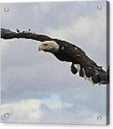 Bald Eagle Release 2 Acrylic Print