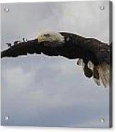 Bald Eagle Release 3 Acrylic Print