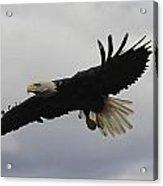 Bald Eagle Release 4 Acrylic Print