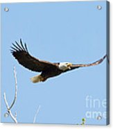 Bald Eagle Soaring Over The Trees Acrylic Print
