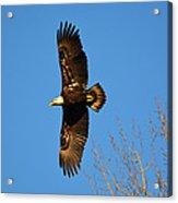 Bald Eagle Soaring Over Trees Acrylic Print