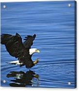 Bald Eagle Striking Kenai Peninsula Acrylic Print