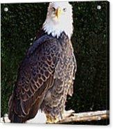 Bald Eagle Two Acrylic Print
