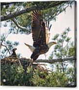 Bald Eagle With Eaglet Acrylic Print
