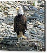 Bald Eagle With Fish On The St. Joe River Acrylic Print