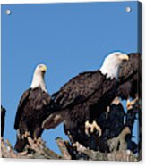 Bald Eagles Quartet Acrylic Print