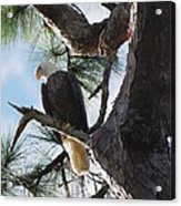 Bald Eagles Eye View Acrylic Print
