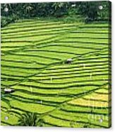 Bali Indonesia Rice Fields Acrylic Print