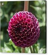 Ball Flower Acrylic Print