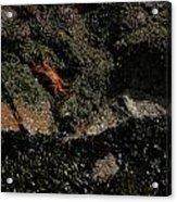 Ballestas Orange Crab 1 Acrylic Print