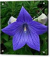 Balloon Flower Acrylic Print by Julie Dant