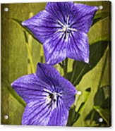Balloon Flower Acrylic Print by Marcia Colelli