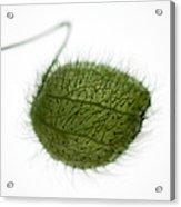 Balloon Plant Acrylic Print
