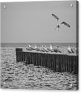 Baltic Sea-gulls Acrylic Print