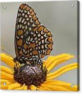 Baltimore Checkerspot With Black-eyed Susan Acrylic Print