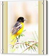 Baltimore Oriole 4348-11 - Bird Acrylic Print