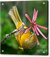 Baltimore Oriole Feeding On Coral Bean Acrylic Print