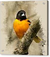 Baltimore Oriole Watercolor Art Acrylic Print