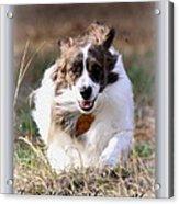 Bama - Pets - Dogs Acrylic Print