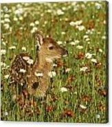 Bambi 2 Acrylic Print