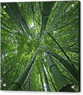 Bamboo Forest 1 Acrylic Print
