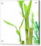 Bamboo Stems And Leaves Acrylic Print