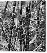 Bamboo-waimea Arboretum  Acrylic Print