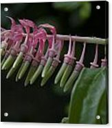 Banana Orchid Show Acrylic Print