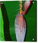 Banana Tree Bud Acrylic Print