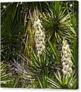 Banana Yucca   #0533 Acrylic Print