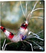 Banded Coral Shrimp Acrylic Print