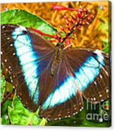 Banded Morpho Butterfly Acrylic Print