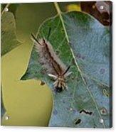 Banded Tussock Moth Caterpillar Acrylic Print