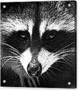 Bandit Acrylic Print