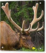 Banff Elk Acrylic Print