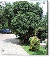 Banju Plants Indian  Acrylic Print