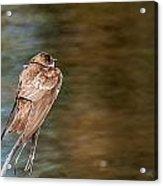 Bank Swallow Resting Acrylic Print