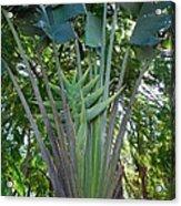 Bannana Palm Acrylic Print