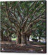 Banyan Tree Reaching For The Sky Acrylic Print