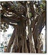Banyan Trees In Velez Malaga's Parque De Andalucia Acrylic Print
