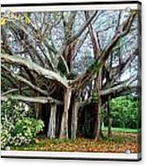 Banyon Tree Acrylic Print