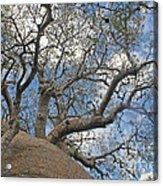 baobab from Madagascar 9 Acrylic Print