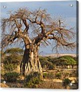 Baobab Tree Ruaha Np Tanzania Acrylic Print