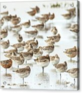 Bar-tailed Godwit 19 Acrylic Print