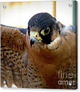 Barbary Falcon Wings Stretched Acrylic Print
