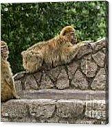 Barbary Macaques Acrylic Print