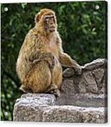 Barbary Macaque Acrylic Print