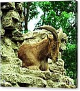 Barbary Sheep 2 Acrylic Print