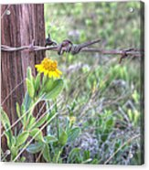 Barbed Beauty Acrylic Print