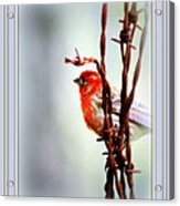 Barbed Wire And Finch Acrylic Print